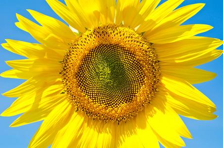 Sunflower by CU on a background blue sky.