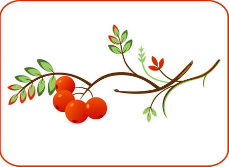 ashberry: Vector illustration of a rowan twig wiht ashberry. Natural ornament.