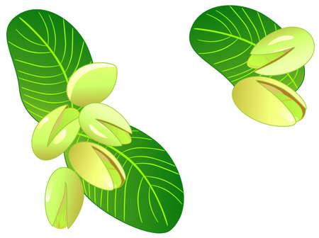 pistachios: Natural ornament. Ripe pistachios Illustration