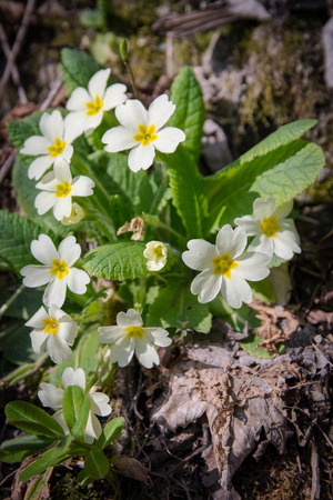 cowslip: primrose common grows wild in the undergrowth