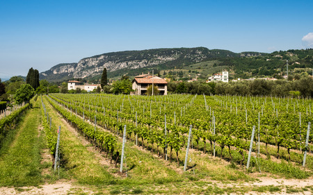 wine grower: Vine growing on the hills close to Lake Garda, Italy. Stock Photo