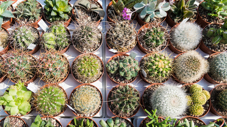 types of cactus: Background formed by many succulent plants in circular vessels. Stock Photo