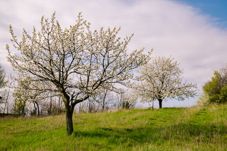 early blossoms: Cherry Blossoms on the Italian hills in early spring. Stock Photo