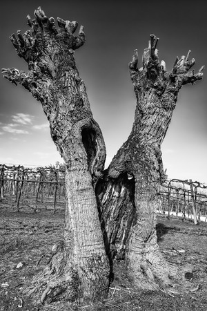 gnarled: Old gnarled and twisted mulberry tree after pruning.