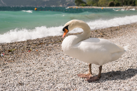 Swan on the stony shore of the lake.