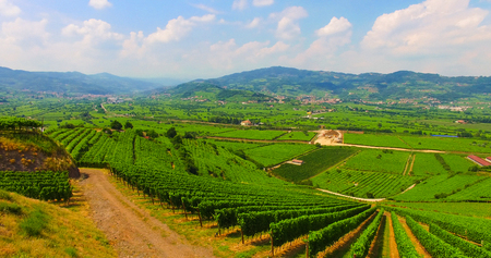 Aerial view of the vineyards on the Italian hills.