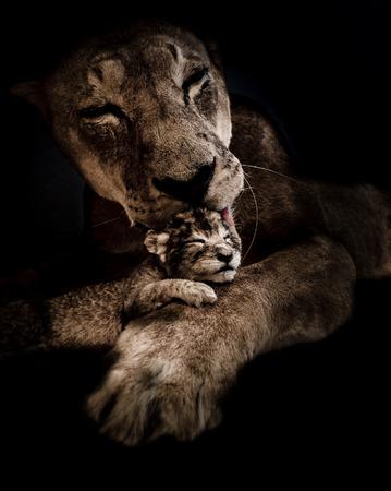 Lioness licks her newborn puppy in the dark.