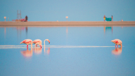 Pink flamingos in the pond Notteri, Sardinia, Italy. 스톡 콘텐츠