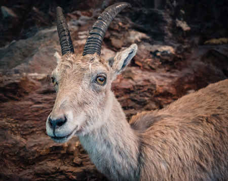Portrait of a young ibex with rocks in the background. Stock Photo