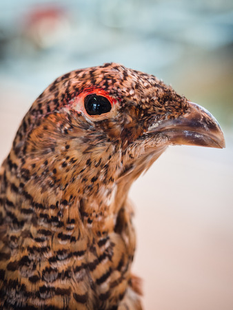 Close-up portrait of a red-legged partridge with soft feathers.