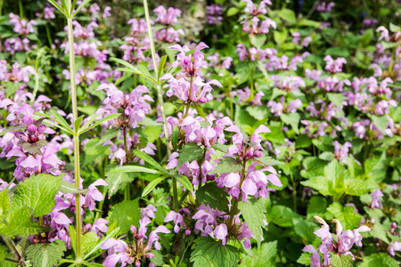 False nettle (lamium maculatum) with characteristic pink and white flowers. Stock Photo