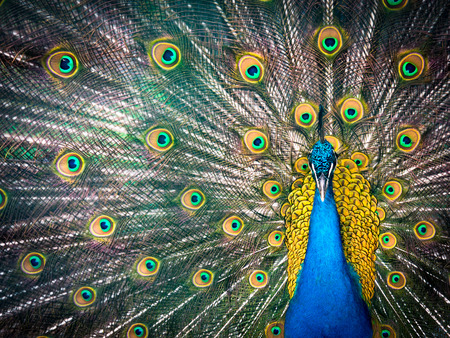 Colorful peacock and its wonderful tail.