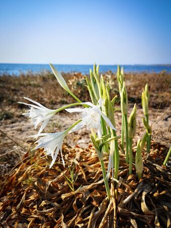 Sea lily sinking its roots in the sand. Pristine Sardinia.