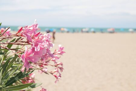 Pink oleander and beach on background usable as copy space.