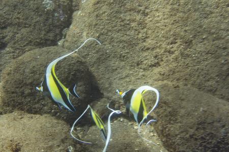 chaetodontidae: Moorish Idol Underwater