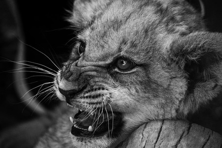 leon bebe: baby lion goes a little angry
