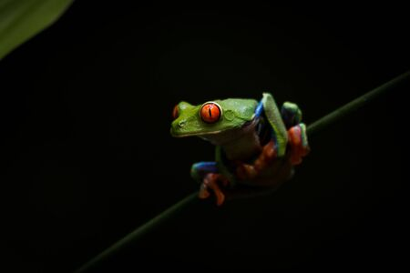 A Tree Frog on a green reed