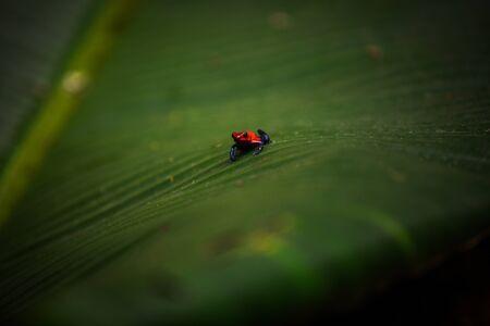 A Poison Dart Frog on a leaf