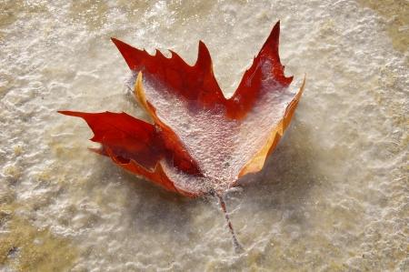 wintriness: Frozen autumn leaf on the Beach