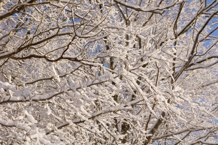wintriness: Branches covered with fresh snow