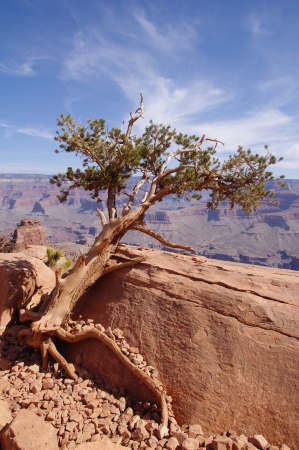 Pine struggling to survive in the Grand Canyon, USA  photo
