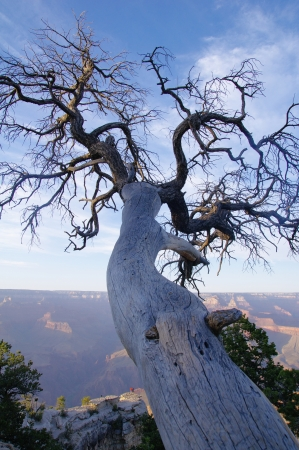 huge tree: Old dead tree on the edge of the Grand Canyon, USA