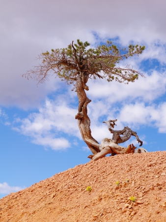 crooked: Lonely crooked tree in Bryce Canyon National Park, Utah Stock Photo