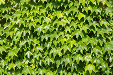 twined: House wall twined with wild grapes closeup