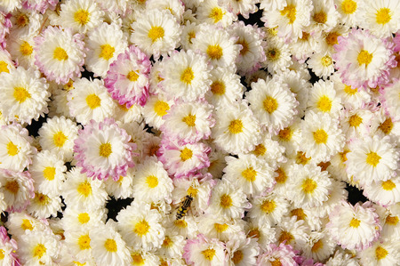 Autum mums, chrysanthemums closeup in sunny day photo
