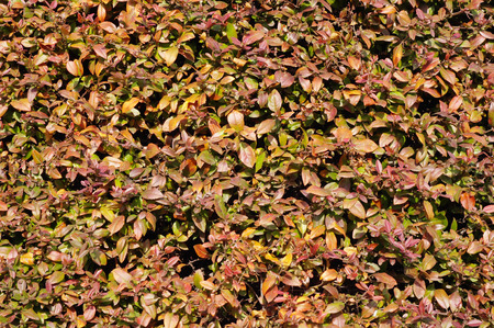 quick hedge: Berberis julianae (Wintergreen barberry or Chinese barberry) in winter