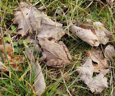 agile: Agile frog (Rana dalmatina, Bonaparte) in autumn leaves closeup
