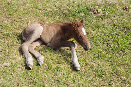 Newborn foal with white spot on the forehead on meadow photo