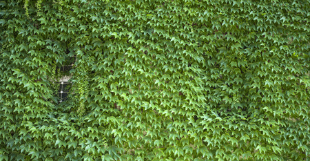 creeper: Green virginia creeper covered wall with window
