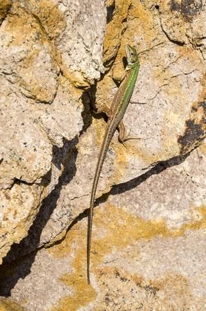 insolaci�n: Lagarto verde europeo sobre el granito en un d�a soleado Foto de archivo