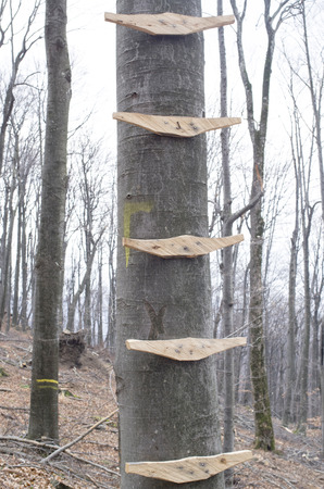 rungs: Ladder on tree with wooden rungs in forest