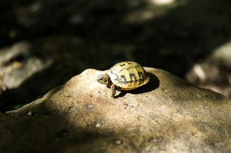 herman: Hermanns tortoise baby on sunny stone, Europe Stock Photo