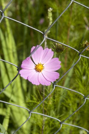 net: Flower Cosmos bipinnatus on mesh metal fence net  Stock Photo