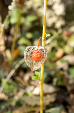 Physalis,  papery husk derived from the calyx, fully encloses the fruit