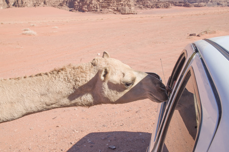 Curious camel peeking in the window of car in desert
