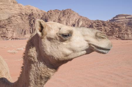 Close up of  camel head in Jordan desert Foto de archivo