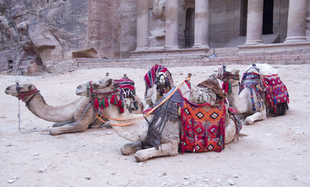 Four camels for a walk with ornate saddles in ancient Petra, Jordan