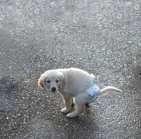 White puppy with blue diaper closeup