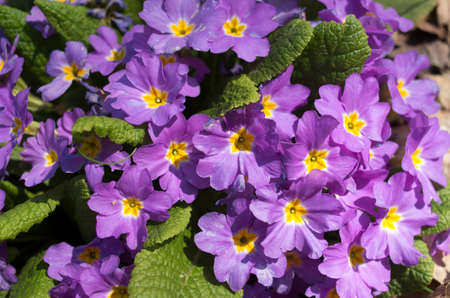 Wild  blooming violet primula vulgaris close up in sunny day Banque d'images