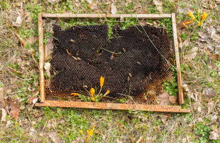 Discarded old beekeeping frame with wax and flowering crocus in the spring