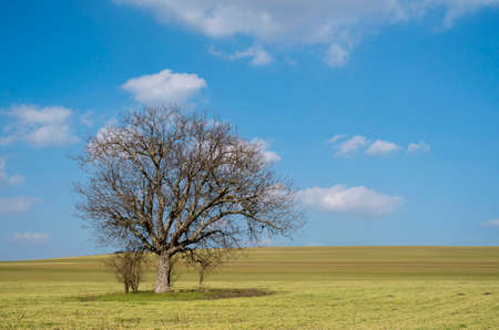 Lonely tree in an endless wheat field in early spring Banque d'images