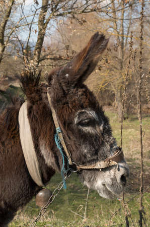Old village donkey with a bell in Bulgaria, Europe