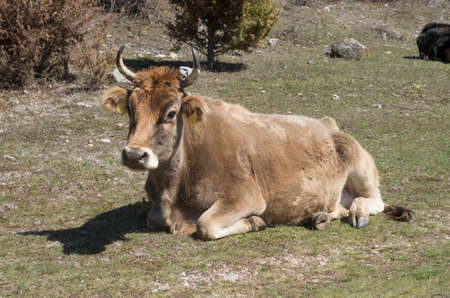 Resting brown cow on the meadow in Bulgaria, Europe