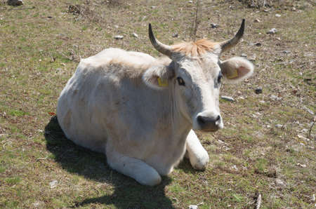 Resting white cow on the meadow in Bulgaria, Europe