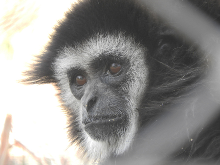 The absent eyes of a gibbon in a wildlife rescue center that lead to think about his past