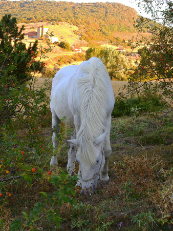 White horse eating peacefully under the sun of summer in the mountains of Navarra, Spain.